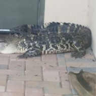 Authorities called to remove loitering gator from Florida porch