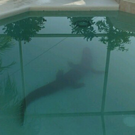 8-foot gator found in Florida homeowner's pool
