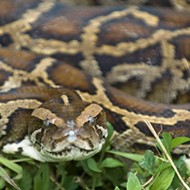 Pythons are eating everything in the Everglades, so now mosquitos are forced to feed off diseased rats