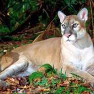 Florida drivers have killed 21 endangered panthers so far this year