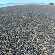 Millions of snails have completely taken over a Florida beach for some reason