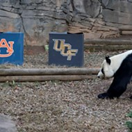 Big dumb panda picks Auburn to beat UCF in Chick-fil-A  Peach Bowl