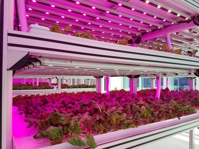 A row of Newham lettuce - FAIYAZ KARA