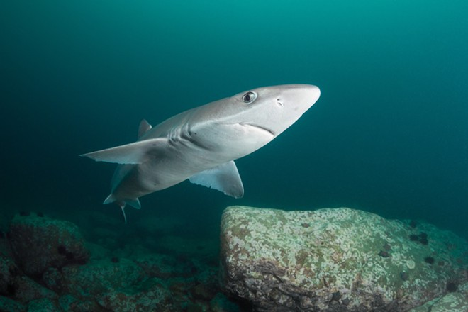 Though similar, this photo is of a spiny dogfish shark, not the genie dogfish - PHOTO VIA ADOBE IMAGES