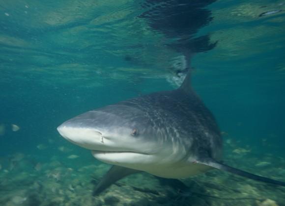 A common bull shark - PHOTO VIA WIKIPEDIA