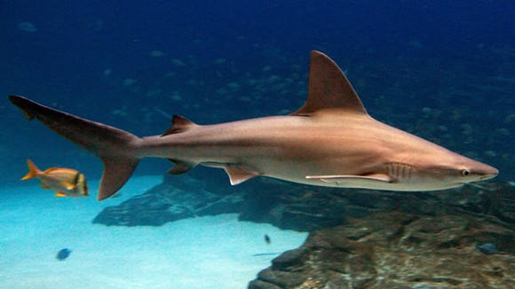 A common sandbar shark, also known as a brown shark. - PHOTO VIA WIKIPEDIA