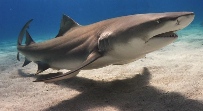 A lemon shark, the creature Bitner believes attacked him Sunday. - PHOTO VIA WIKIPEDIA