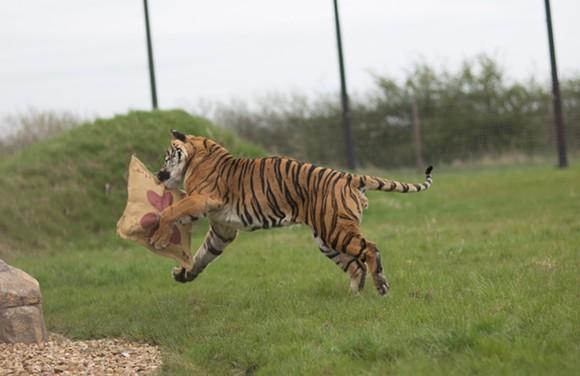PHOTO COURTESY HAMERTON ZOO BIG CAT ENRICHMENT PROGRAM