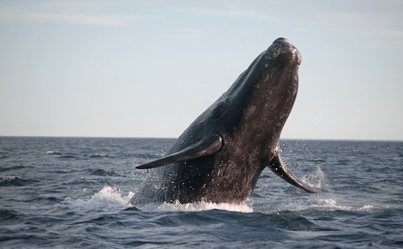 An endangered Southern right whale - PHOTO VIA ADOBE IMAGES