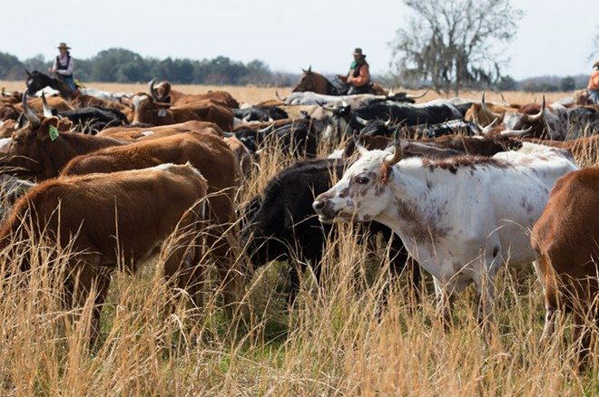 Nearly 500 head of Cracker cows and - other cattle made the almost 60-mile trip - from St. Cloud to Kenansville.