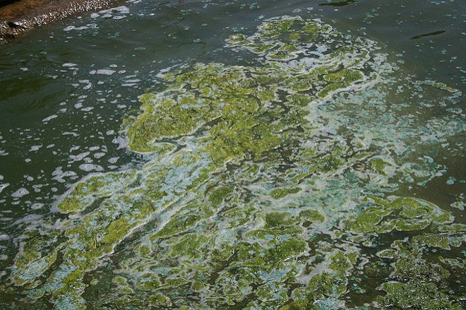 Sample of blue-green algae in Madison, Wisconsin - PHOTO BY MARK SADOWSKI VIA FLICKR