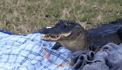 This is not Gwendolyn, but this gator also loves snacks