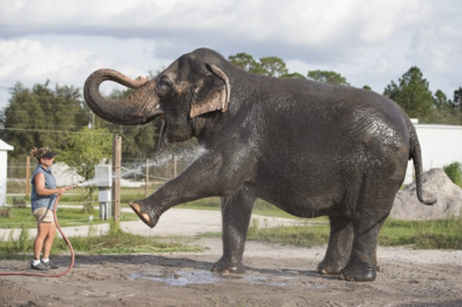 PHOTO VIA RINGLING CENTER FOR ELEPHANT CONSERVATION