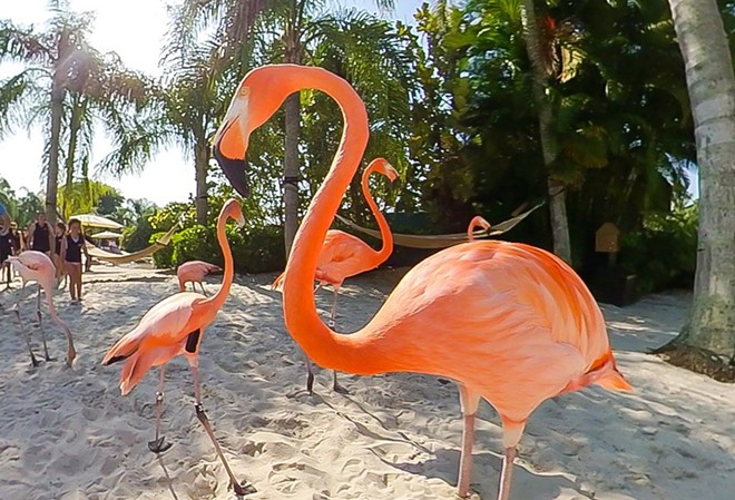 Eight Caribbean flamingos arrived at Discovery Cove in late June from SeaWorld Orlando. - PHOTO VIA DISCOVERY COVE