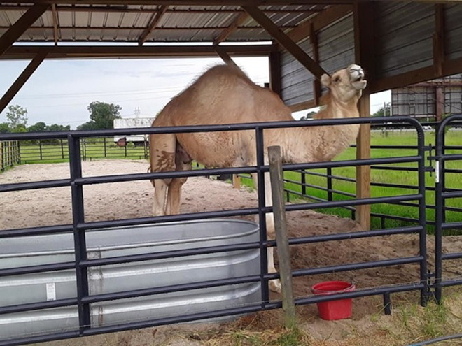 PHOTO OF CASPER THE CAMEL VIA TIGER TRUCK STOP/FACEBOOK