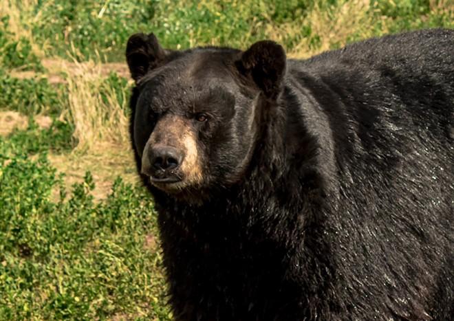 FLORIDA BLACK BEAR PHOTO VIA ADOBE STOCK