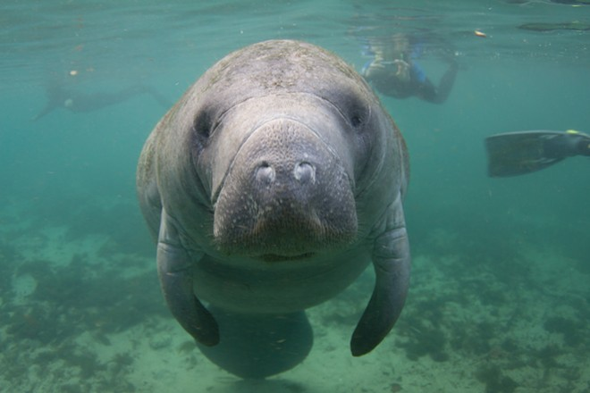 Boaters in Florida broke the all-time record for killing manatees this year