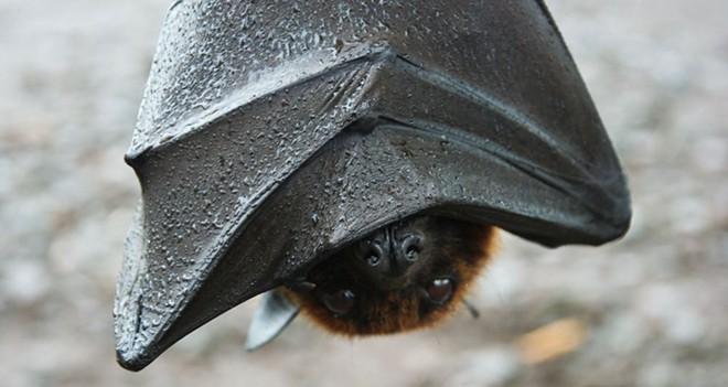 Florida bat hanging upside down - THE OCCASIONAL BAT/TWITTER