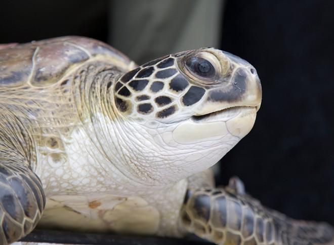 Juvenile green sea turtle - PHOTO VIA TROY CRYDER/NASA