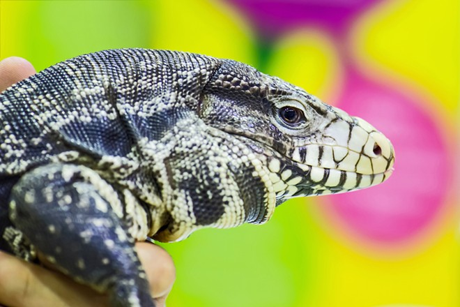 A tegu lizard - PHOTO VIA ADOBE STOCK