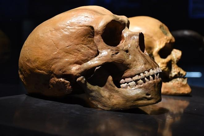 Ancient Neandertal skull vs. modern skull - ADOBE