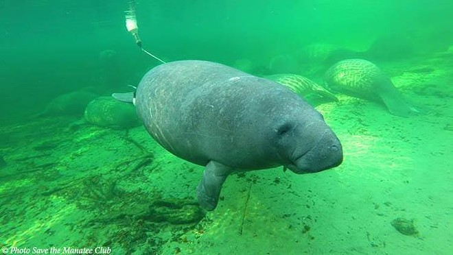 PHOTO COURTESY SAVE THE MANATEE CLUB VIA BLUE SPRINGS STATE PARK/FACEBOOK