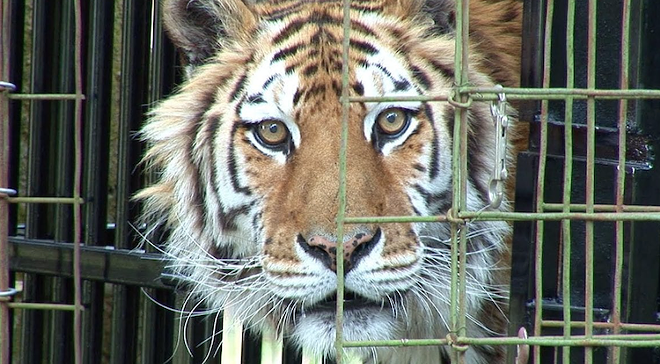 PHOTO COURTESY BIG CAT RESCUE
