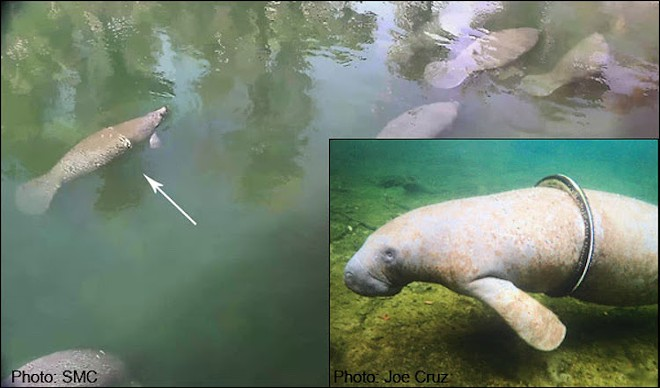 Before and after pictures of Schwinn's escape artist mastery - PHOTO COURTESY THE SAVE THE MANATEE CLUB