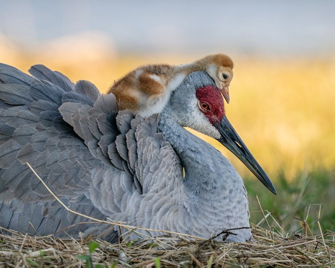 Winter Garden resident Robin Ulery won this year's amateur bird photography award for this shot of a Sandhill crane and its child. - PHOTO VIA AUDUBON/ROBIN ULERY