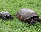 Please enjoy this enormous Florida gopher tortoise