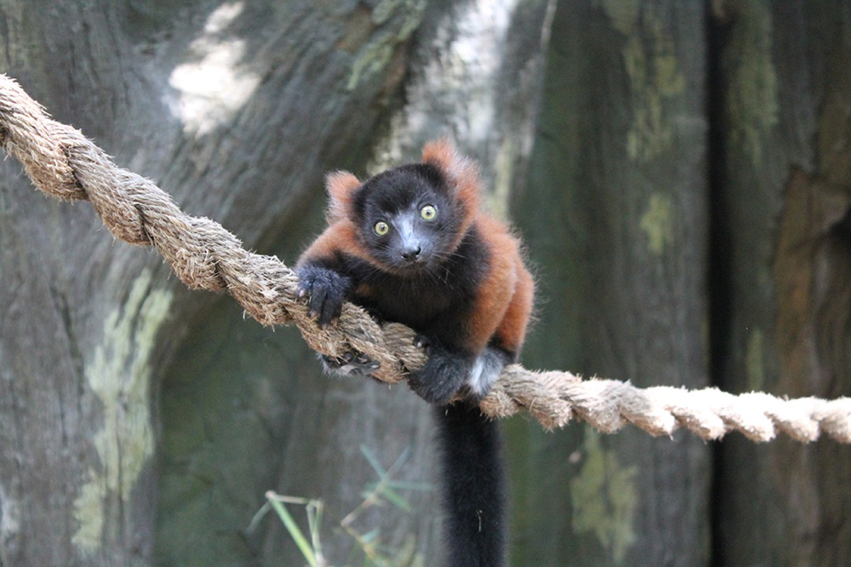 red-ruffed_lemur_born_4.30.2016.jpg