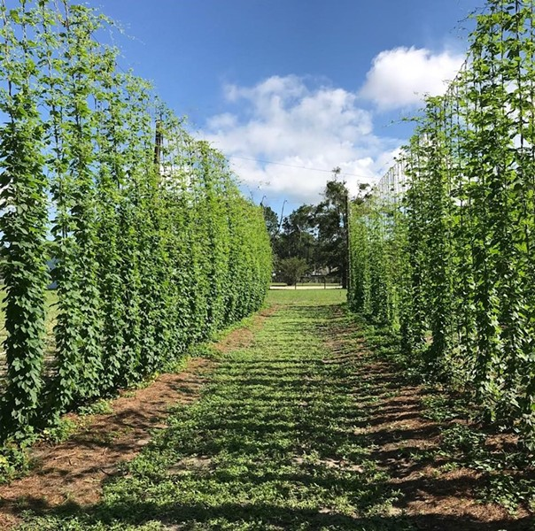 A row of hops plants in Zellwood - PHOTO BY RICHARD SMITH