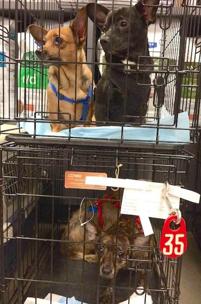 Three of the 52 dogs Poodle and Pooch rescued from the area known as Redlands. - VIA POODLE AND POOCH ON FACEBOOK