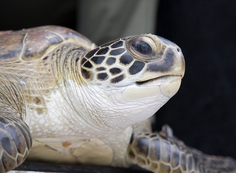 Juvenile green sea turtle - PHOTO VIA TROY CRYDER/NASA