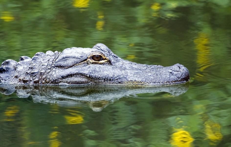 American alligator - PHOTO VIA ADOBE STOCK