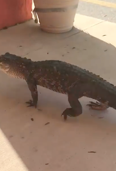 Just an alligator strolling through a strip mall in Flagler Beach