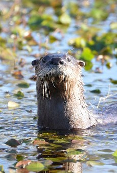River otters in Florida got into multiple fights with kayakers last weekend