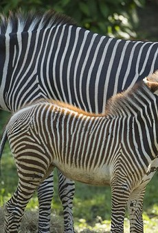 Disney debuts two new zebra foals at Animal Kingdom