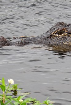 Florida deputy shoots and kills gator with an AR-15 after it trapped a girl in a tree