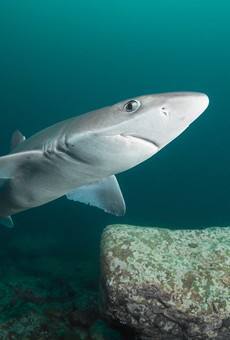 Though similar, this photo is of a spiny dogfish shark, not the genie dogfish