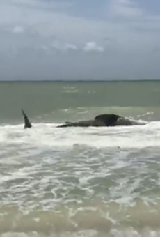 A massive dead whale shark washed up on a Florida beach last weekend