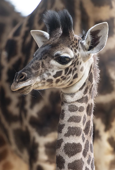 Disney wants you to help name this baby giraffe at Animal Kingdom
