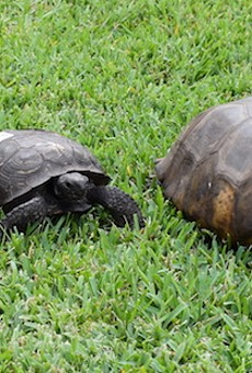 From left to right: A Florida box turtle, a regular gopher tortoise, and our hefty champion