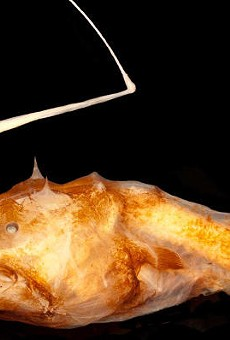 Florida researcher helps discover new bizarre species of angler fish