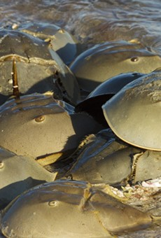 Florida wildlife officials want you to report horseshoe crab sexcapades on the beach