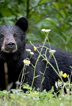 Speak Up Wekiva looking for bear hunt monitors