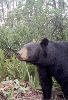 FWC says controversial bear hunt will resume next year