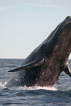 An endangered Southern right whale