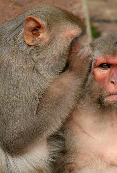 Monkey population spreading into Central Florida, UF biologists say