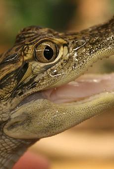 Florida man arrested for flinging gator into Wendy's drive-thru